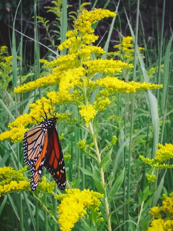 Monarch butterfly on Showy Goldenrod at the Anders Savanna.